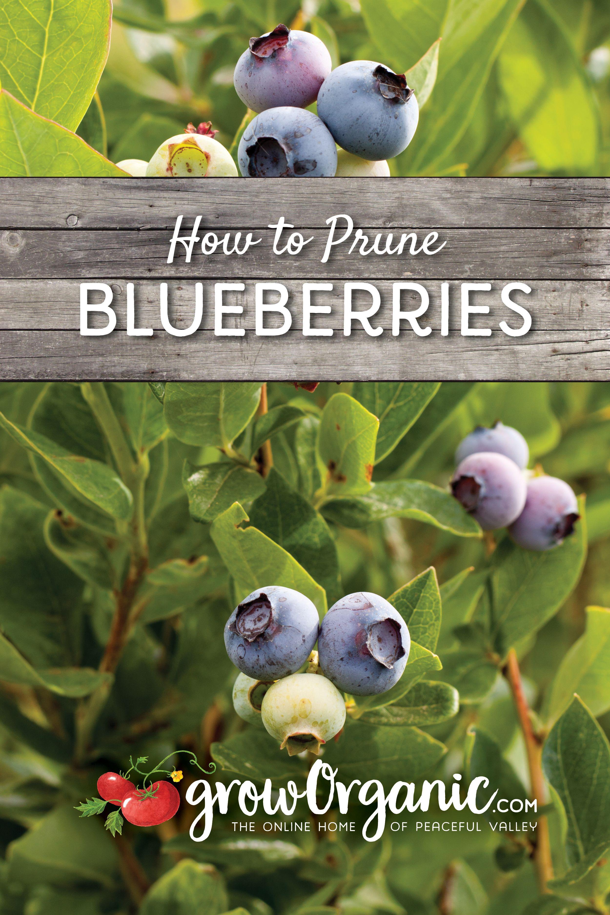 How To Prune Blueberries Growing Blueberries Bushes Growing Blueberries Blueberry Bushes