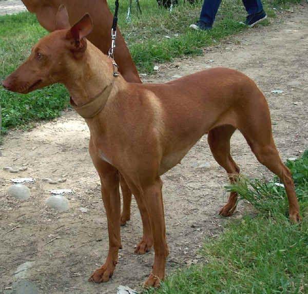 Top Ten Italian Dog Breeds Italy Magazine Italian Dogs Dog Breeds Dogs