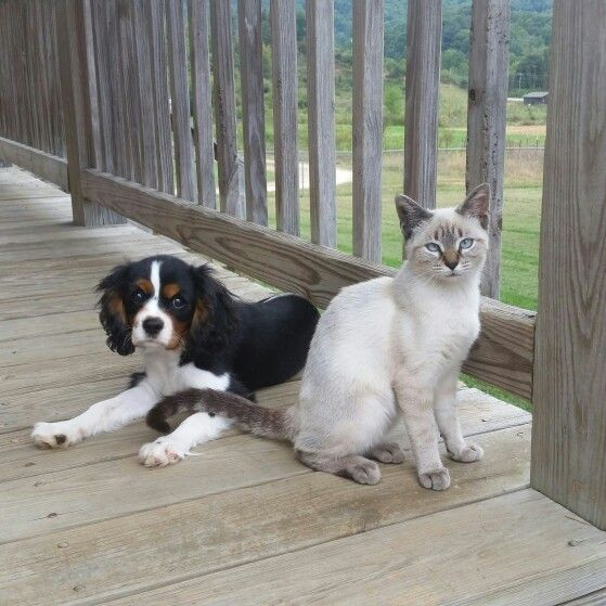 The best of friends! Siamese and Cavalier King Charles Spaniel