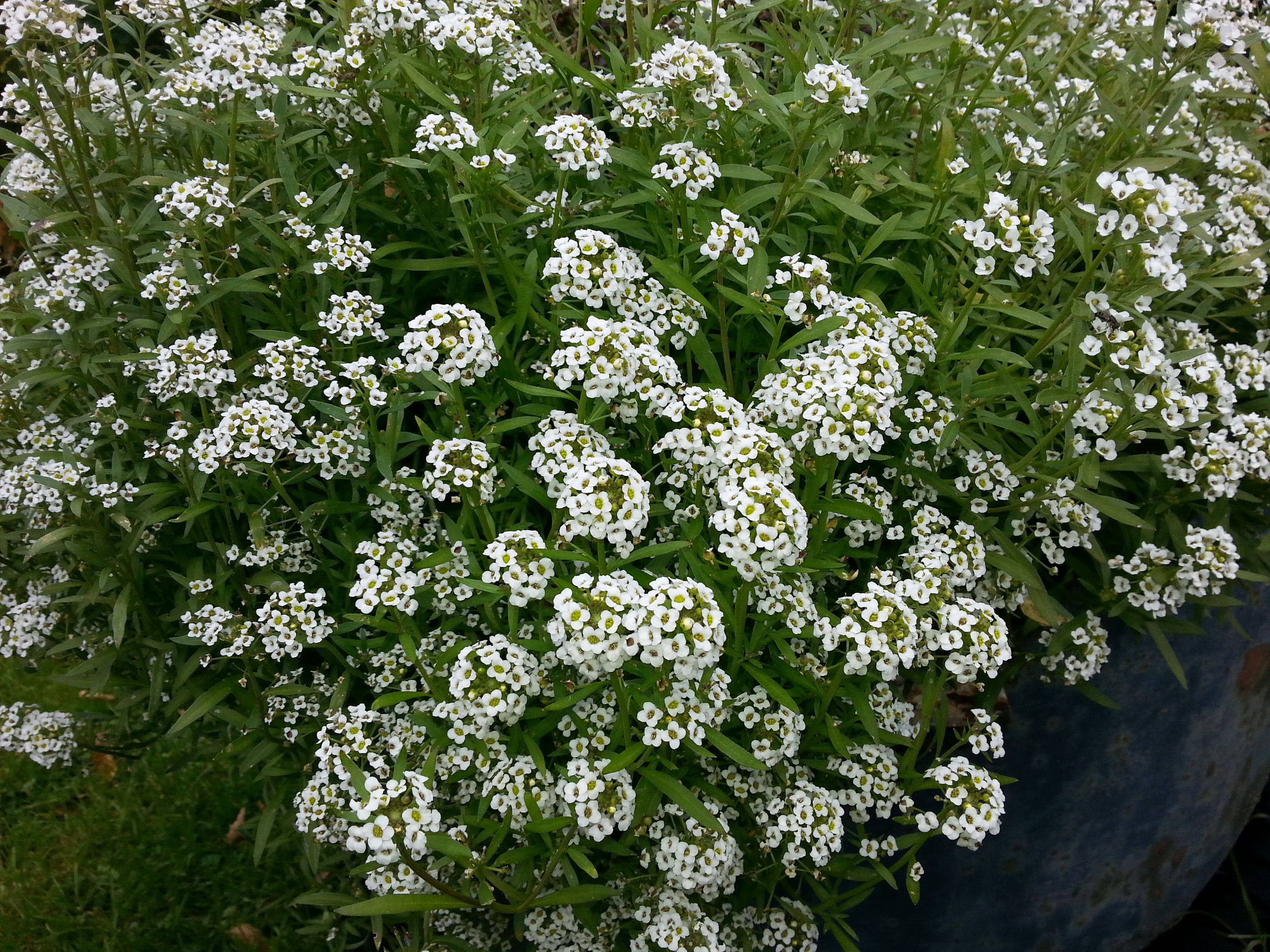 En tiedä kukan nimeä mutta syypuoleen kukkii eikä säikähdä halla öitä, tuoksuu tosi hyvälle