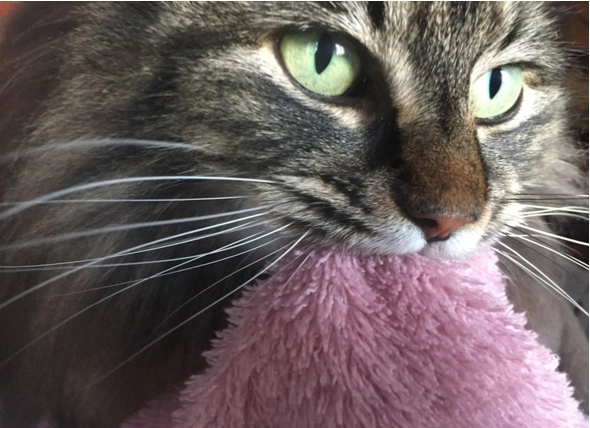 Is Your Cat Suckling as an Adult? petMD Suckling, Cats