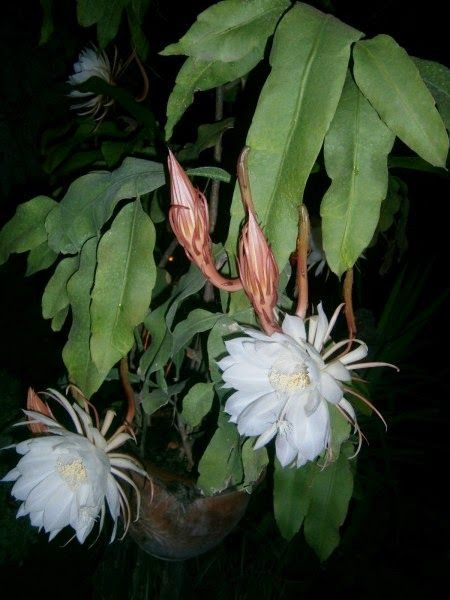 Epiphyllum Cactus: Epiphyllum oxypetalum - Flowers open only in the night and closes by the morning.