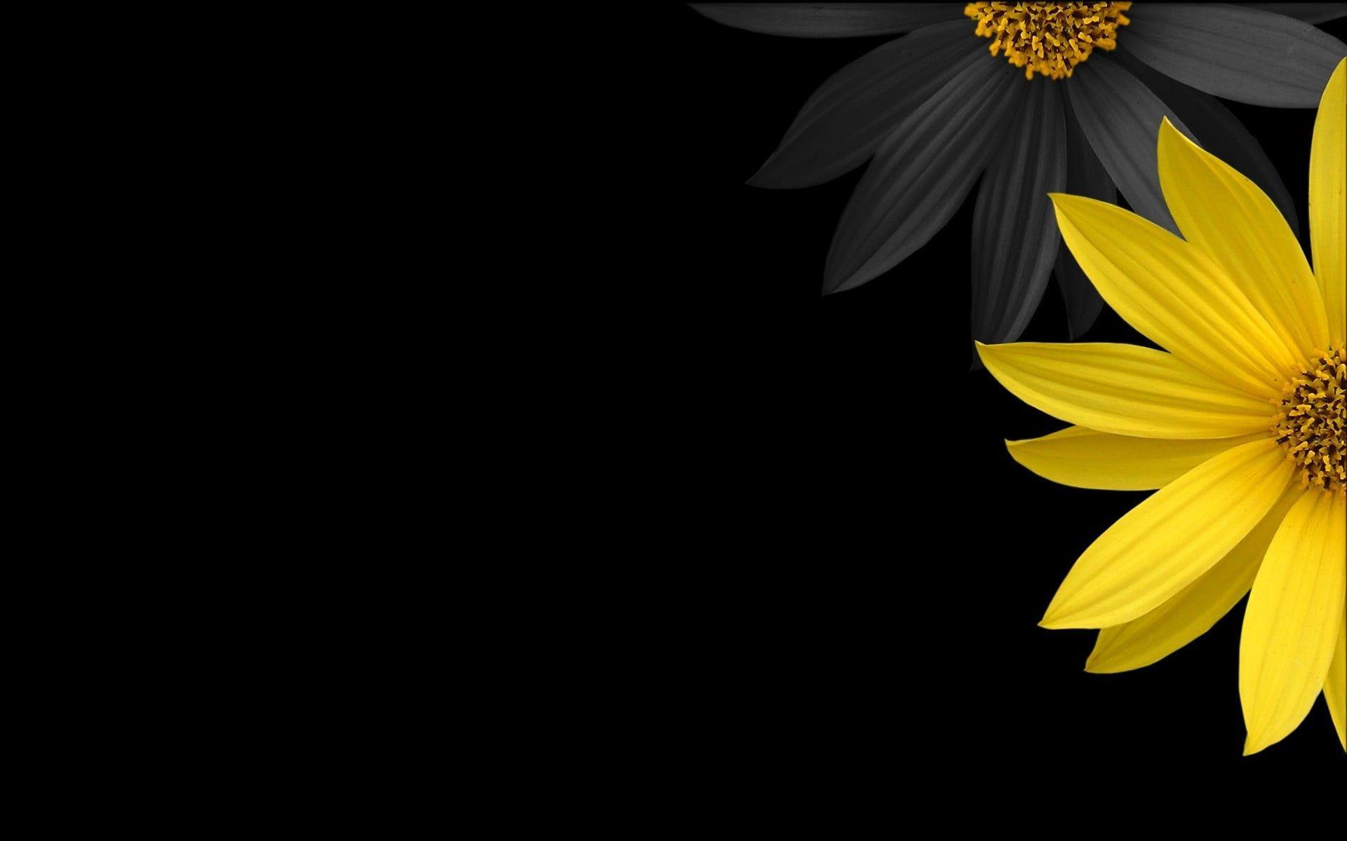 Yellow Sunflower With Black Background Flowers Yellow Flowers Black Background Di Papel De Parede Com Fundo Preto Papel De Parede Flores Papel De Parede Preto