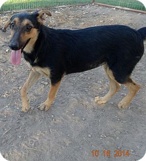 Adopted Olympia Wa Shepherd Unknown Type Greyhound