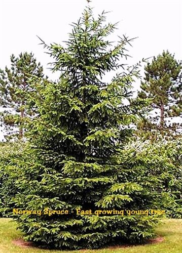 Norway Spruce Evergreen Plant Nursery