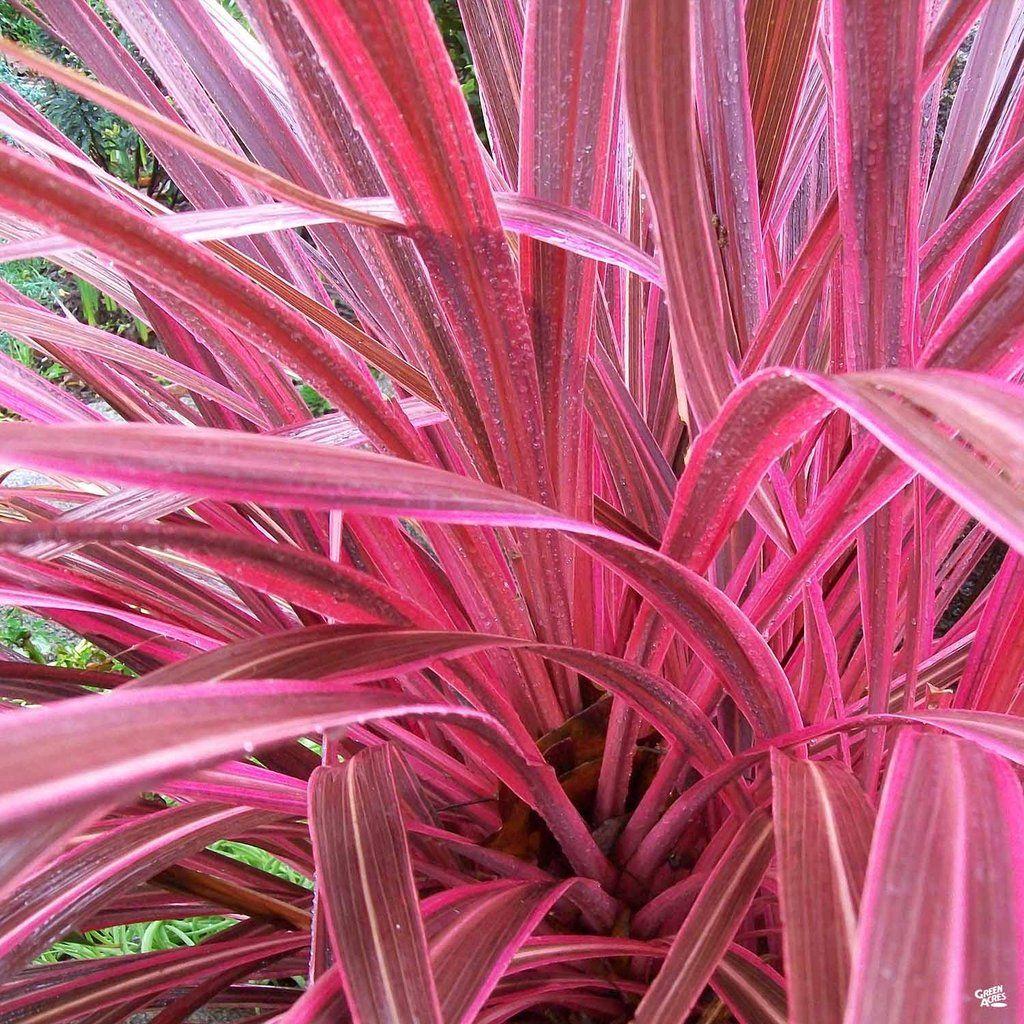 Cordyline Electric Pink Plants Pink Plant Plant Zones