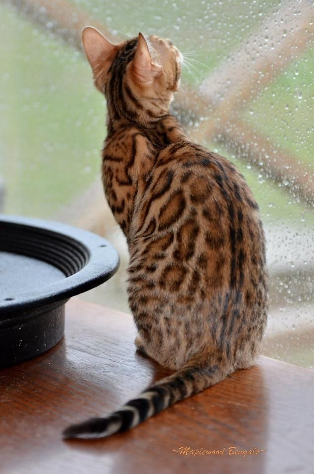 Bengal Cat.. Look at these spots <3 if only they had a more oriental face.. <3