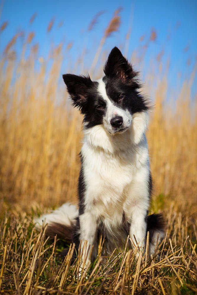 A Border Collie Sitting Behind A Wheat Field That Needs To Be Harvested By Peter Steffensen Bordercollie Dog Photos Border Collie Dog Cute Dogs