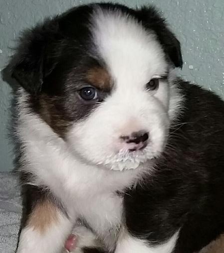 Australian Shepherd Puppies For Sale In Texas Wild Wings Australian Shepherds Australian Shepherd Puppies Australian Shepherd Best Dog Breeds