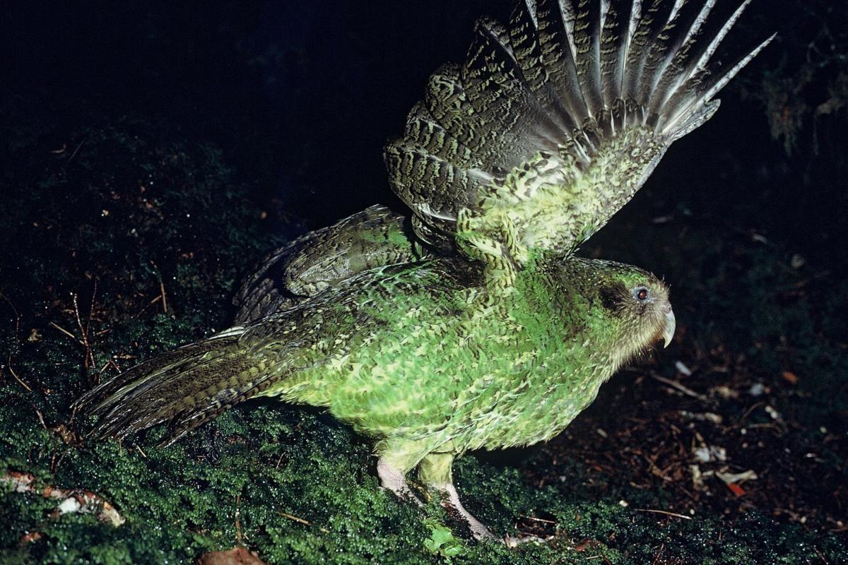 Kakapo | New Zealand Birds Online
