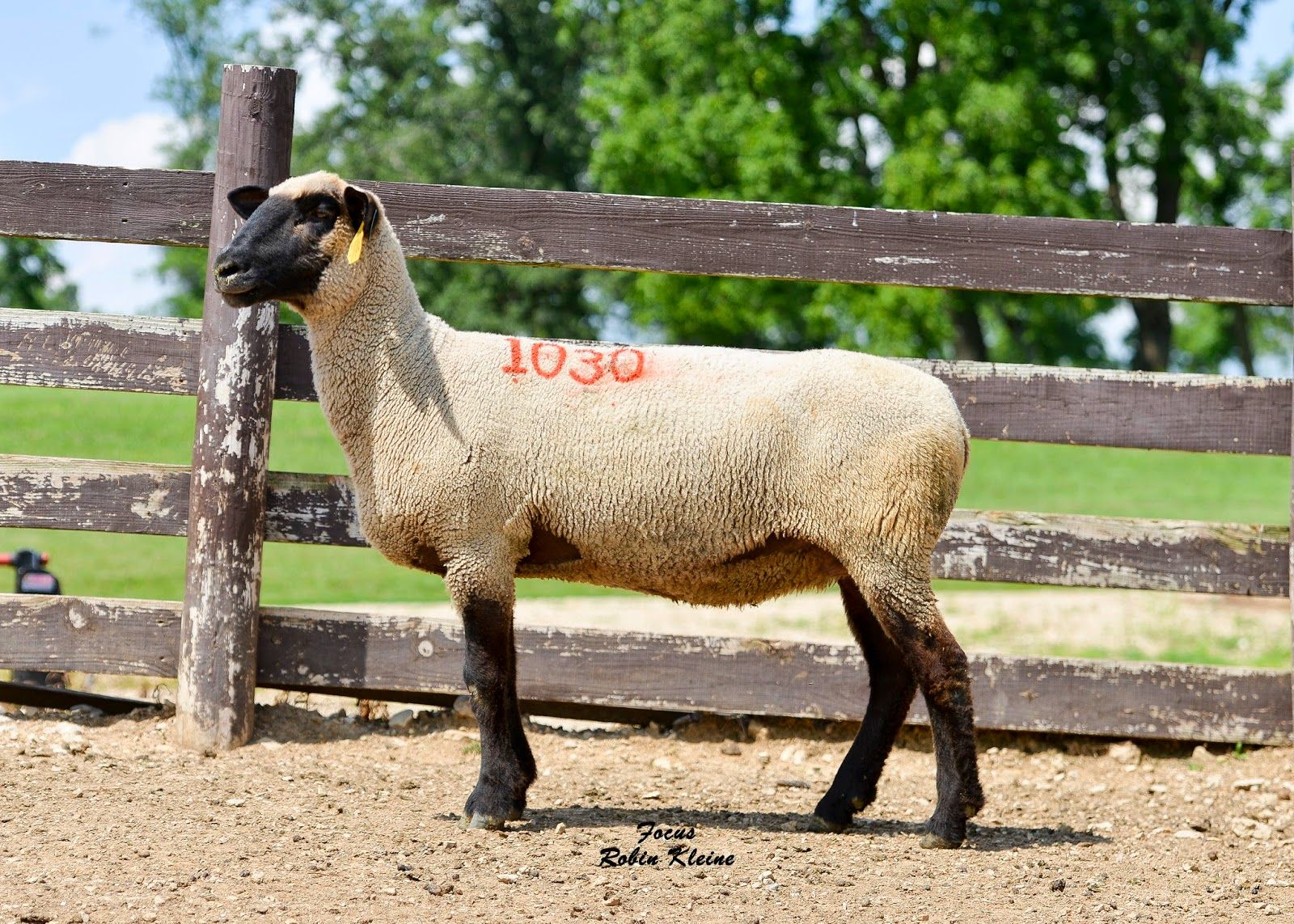 A great set of ewes sell this week from Impact Hamps, WI -- Got Focus? :|: Blog from Focus Marketing Group, Inc.: Where's Our FOCUS This Week? Vol. 73