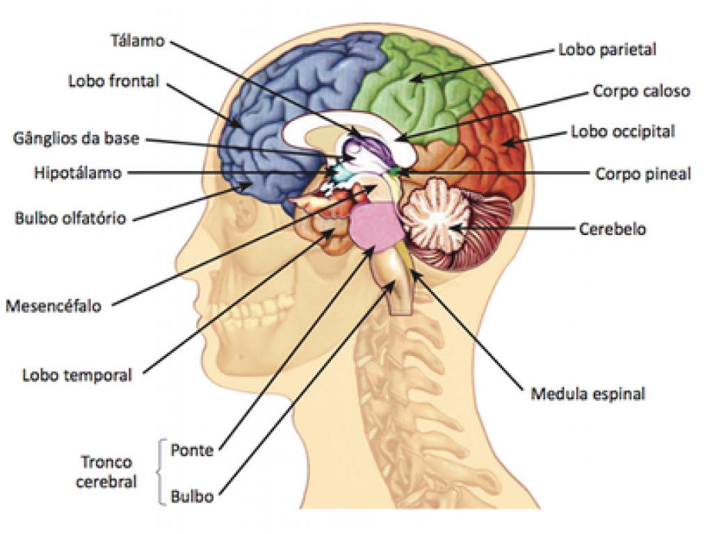 Resultado de imagem para sistema nervoso humano completo | Corpo ...