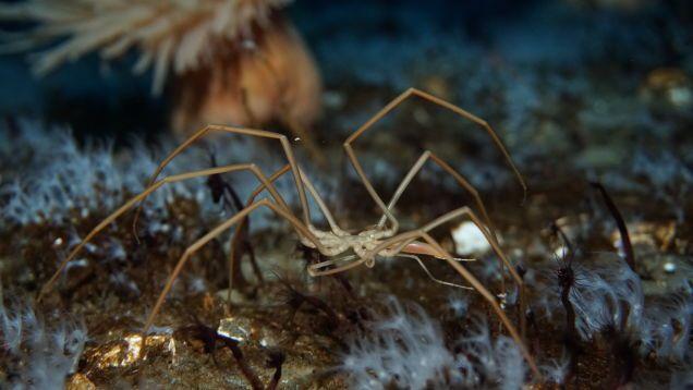 Incredibly Weird Sea Spiders Pump Their Blood Using Their Guts