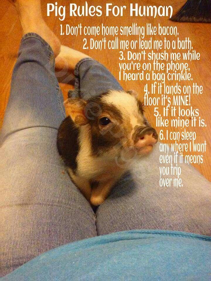 Pig rules for human pet minipiggy pig piggy minipig