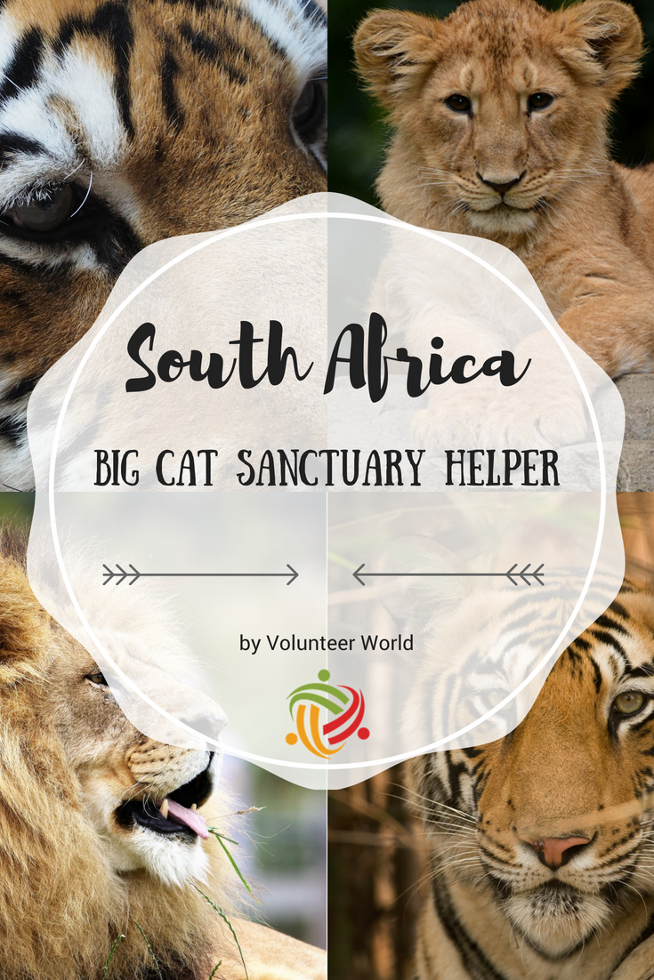 Your Chance To Work Behind The Scenes Of A Big Cat Sanctuary That Is Currently Home To Many Rescued Lions Tigers Leopards J Cat Sanctuary Big Cats Volunteer