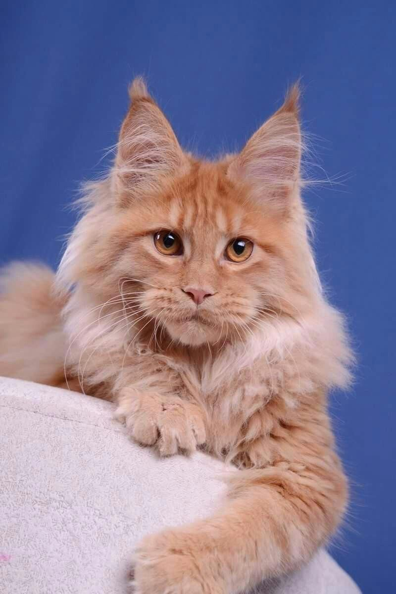 Urgant Akella Leader 4 Months Boy D Available Allergictocats Cute Cats Beautiful Cats Pictures Cats And Kittens