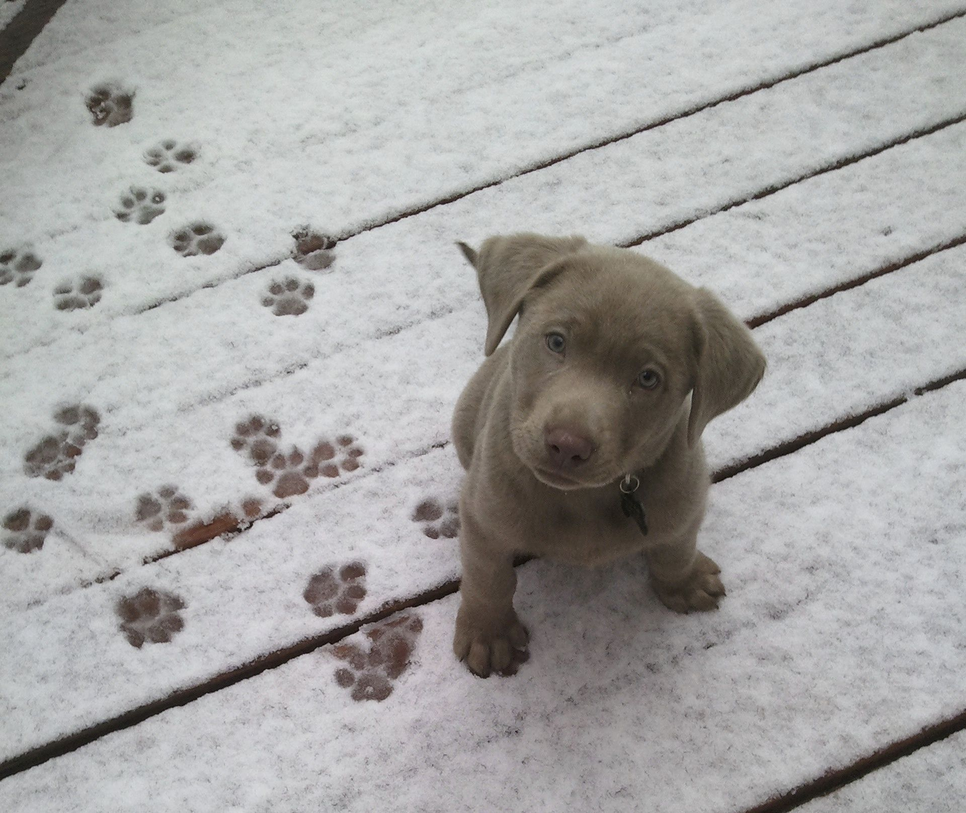 My Favorite Picture Of Dex A Silver Lab Pup Lab Puppies Dog Lovers Pets