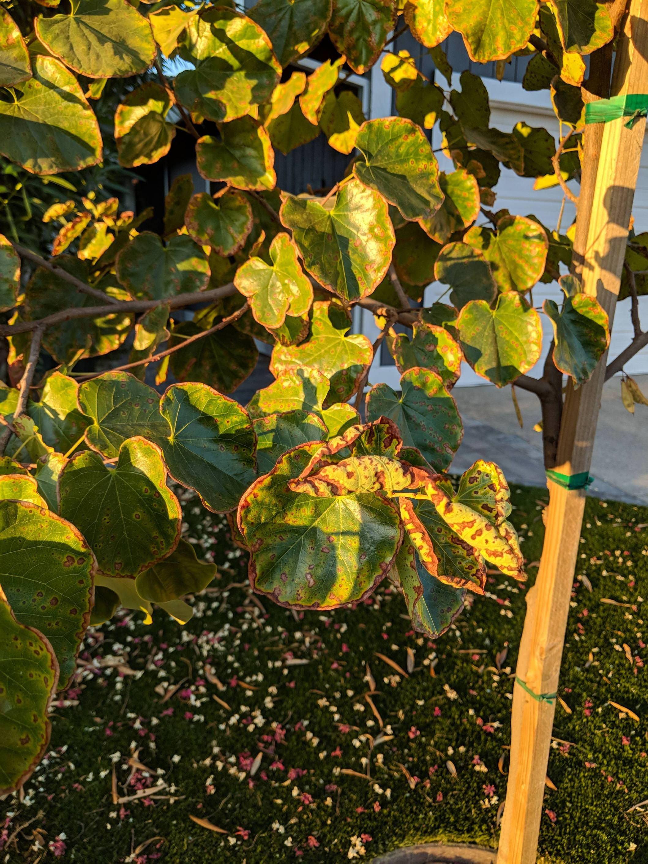 help] What could be damaging my Redbud tree? (Zone 9b) #gardening ...