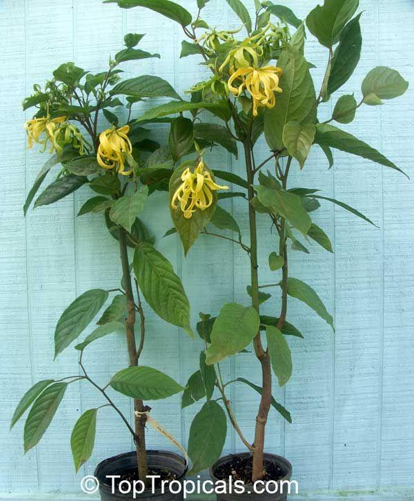 C Odorata Var Fruticosa Dwarf Ylang Grows As Small