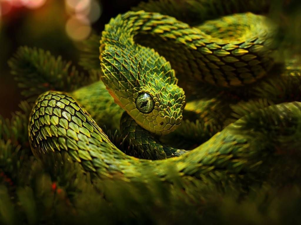 The Viperidae Vipers Is A Household Of Venomous Snakes Found In Many Parts Of The Globe Omitting Antarctica Australia African Bush Viper Viper Snake Snake