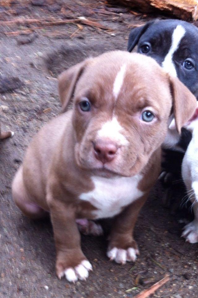 My Baby Bentley 6 Weeks Old Pitbull Americanbulldog Rednose