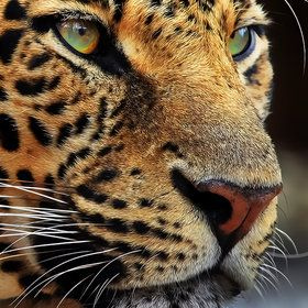 Panther Close Up by Klause Wiese http://500px.com/photo/2452496