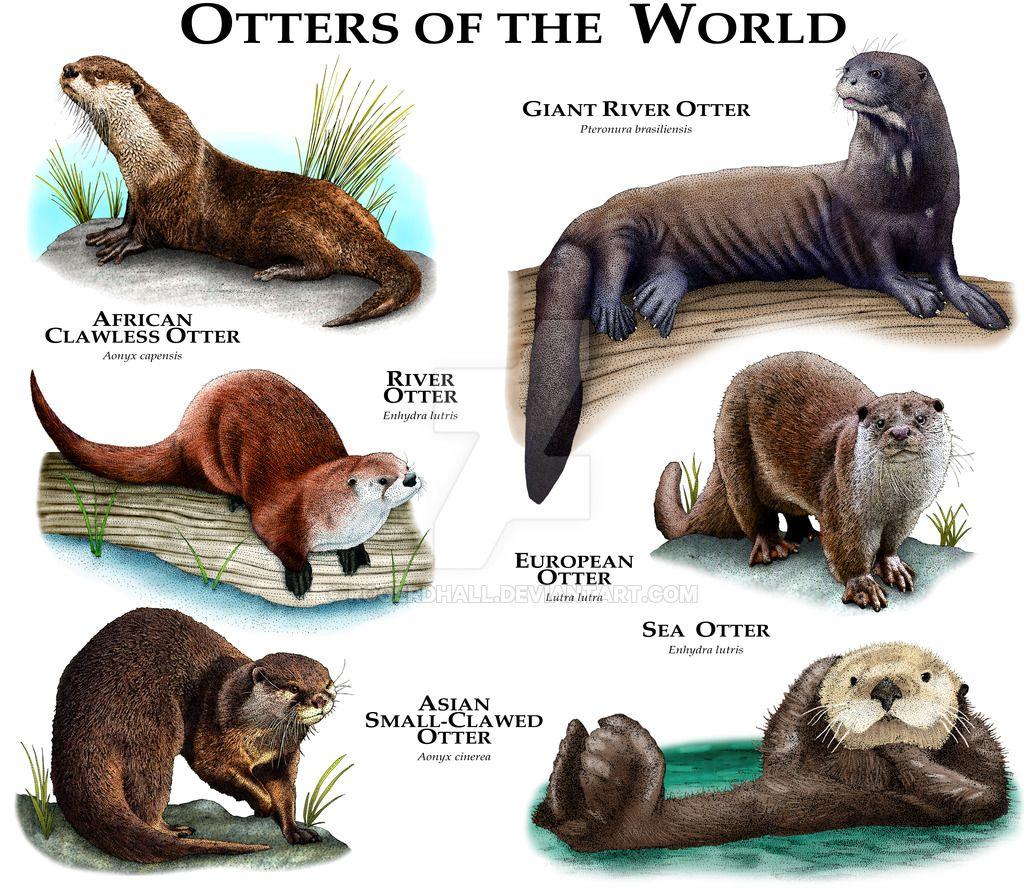 Otter of the World by rogerdhall on DeviantArt Animals