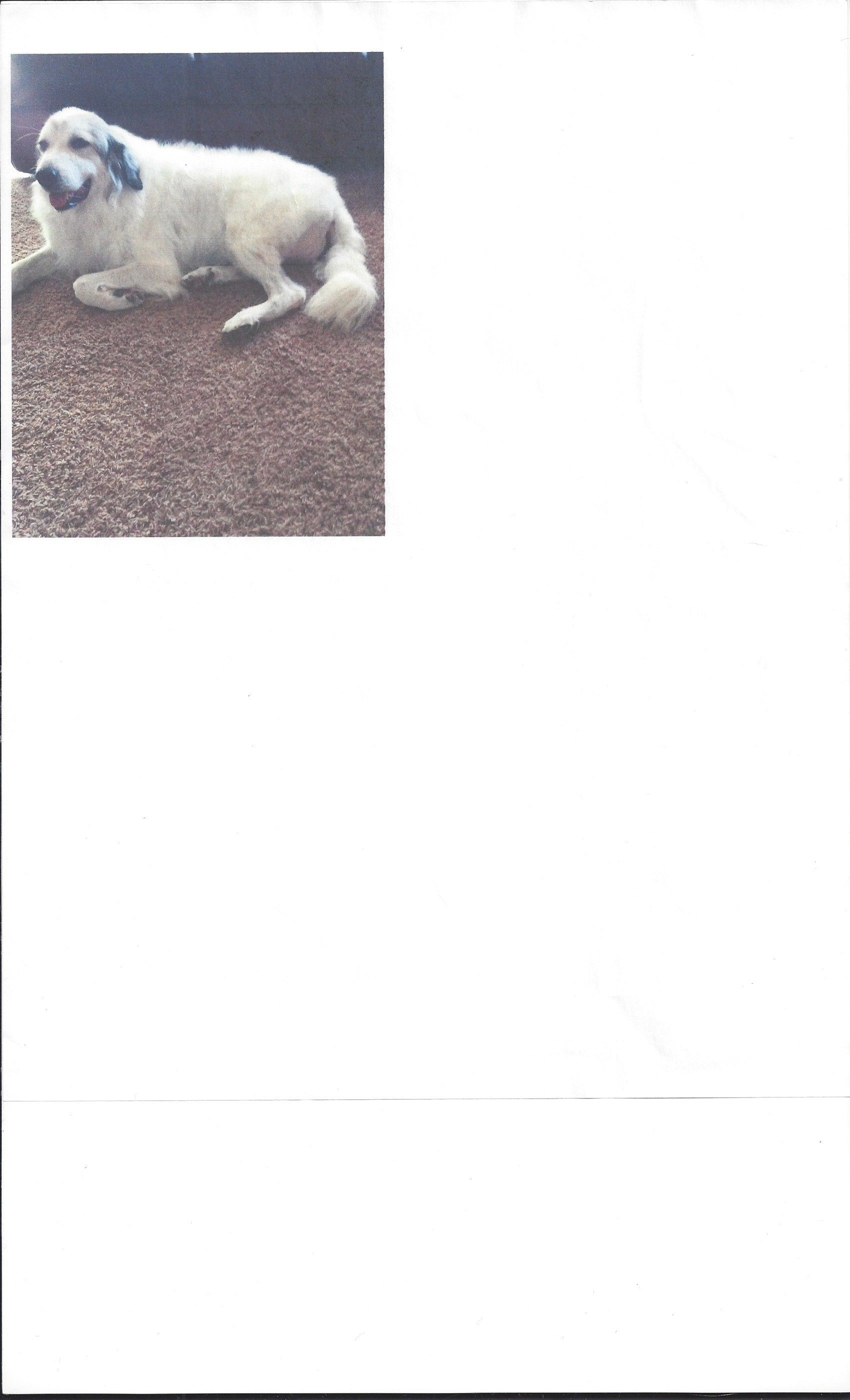 Great Pyrenees Dog For Adoption In Albuquerque Nm Adn 502853 On