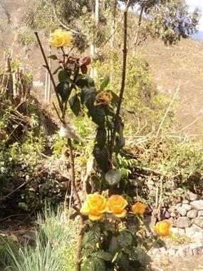 Acabo de compartir la foto de patty  gago que representa a: Rosas de Laraos