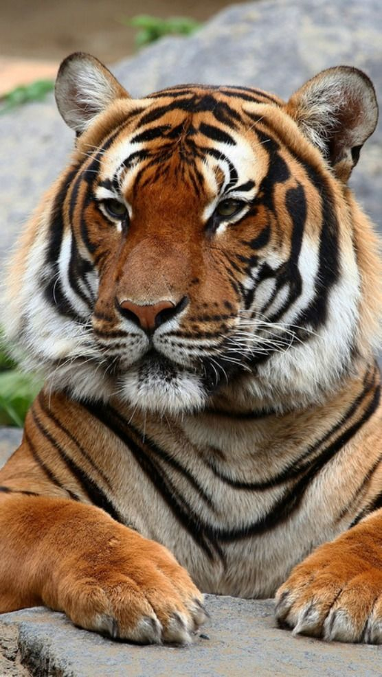 king tiger ) Tiger pictures, Big cats, Animals beautiful