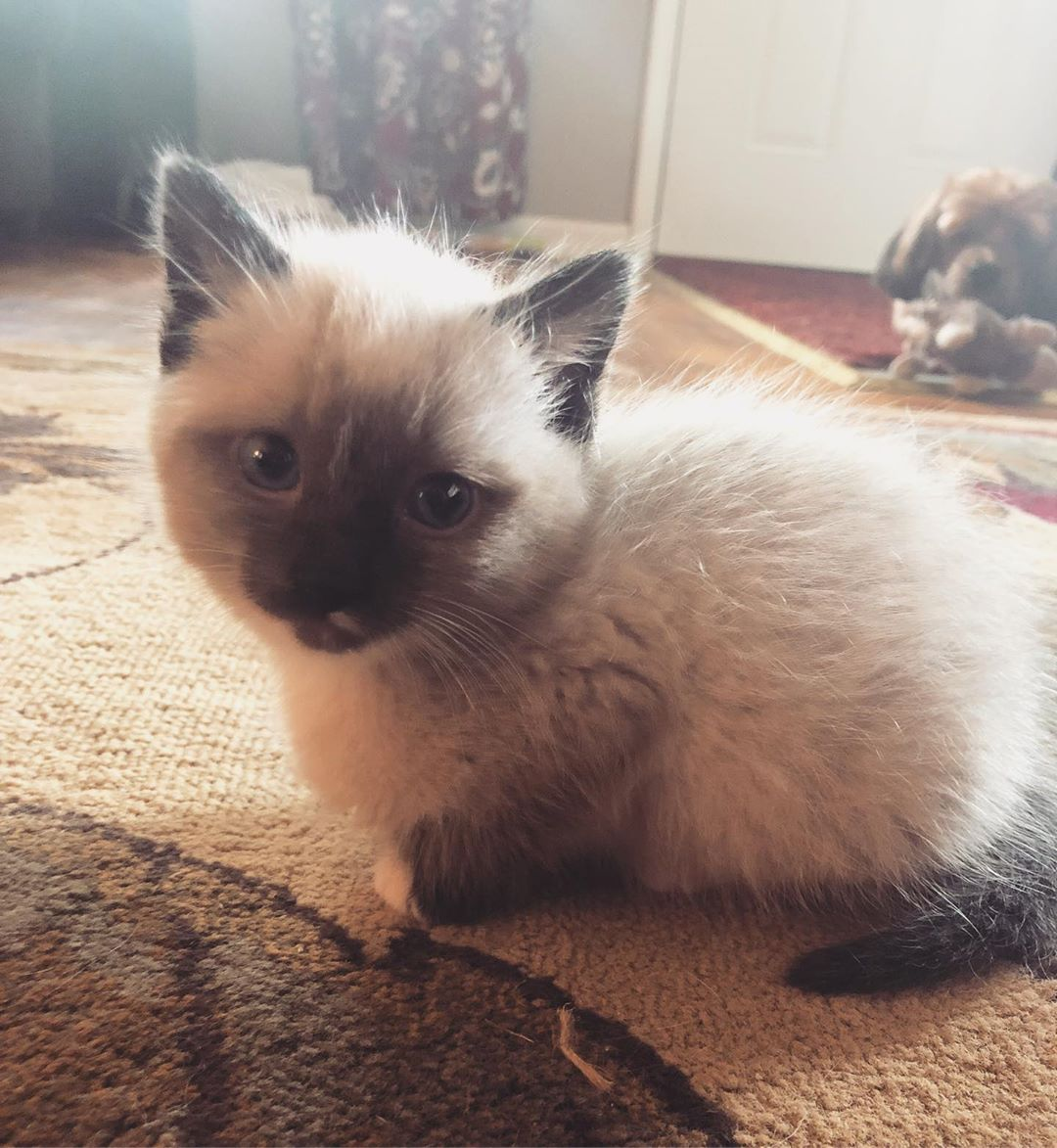 My Name Is Ming Im 8 Weeks Old Im Smol And I Like To Play And Sleep Siamesecat Siamese Siamesekitten Siamese Love Si Cat Day Feline Siamese Kittens