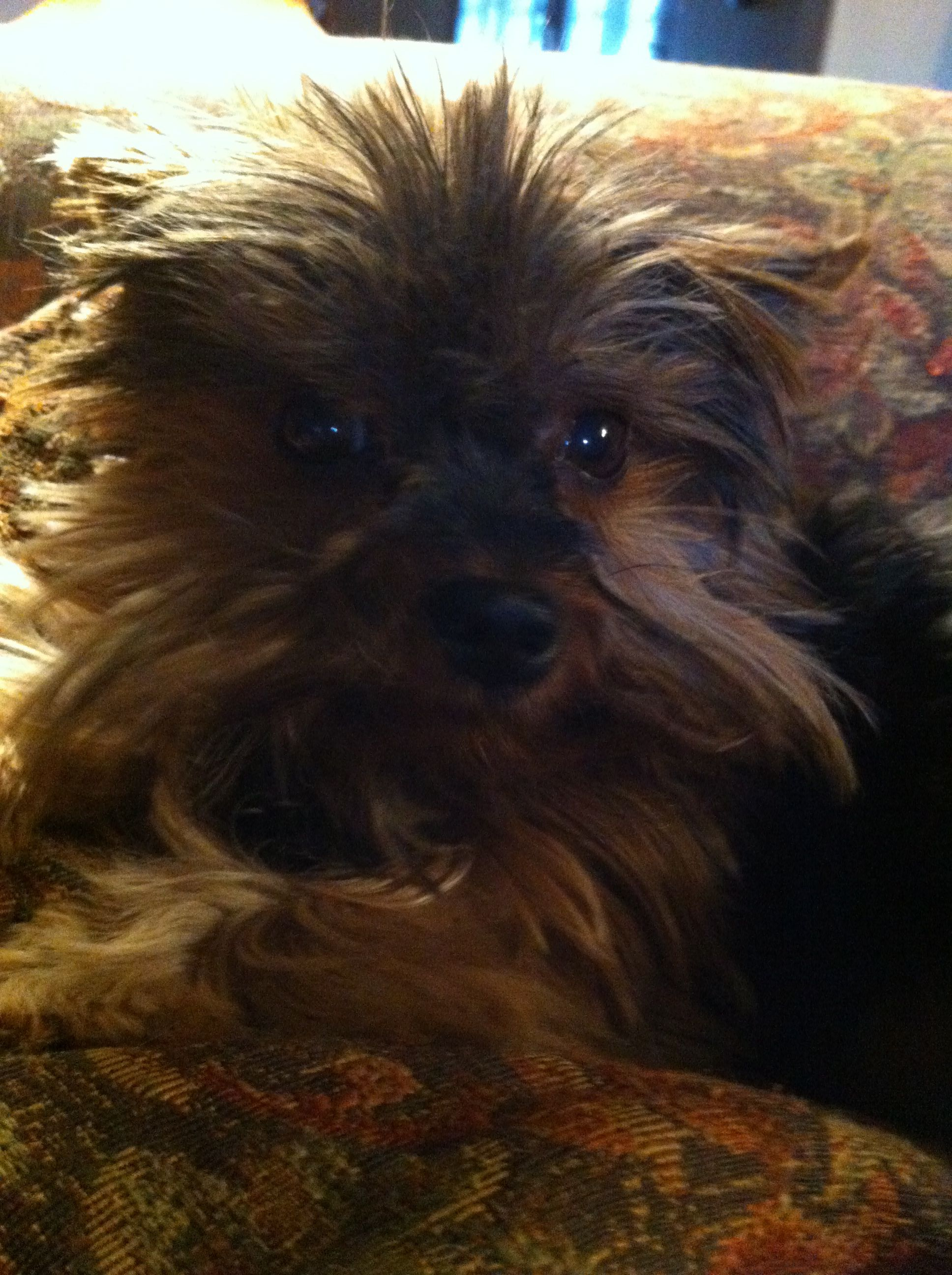 Holly Berry, our Christmas Yorkie puppy.  She's 8 years old now ;)