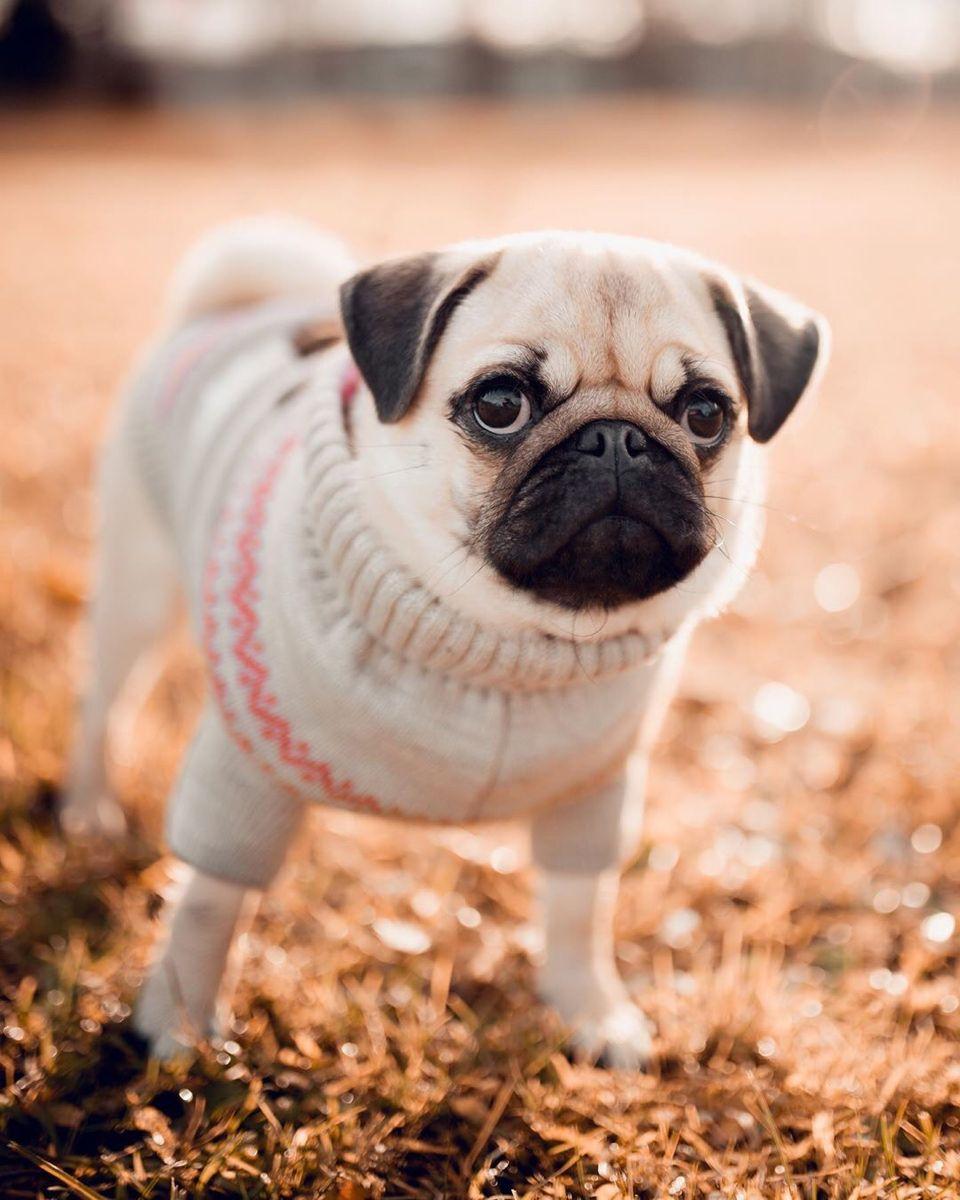 Pug Crazy For Mops Barbie Iampugcrazy Puglove