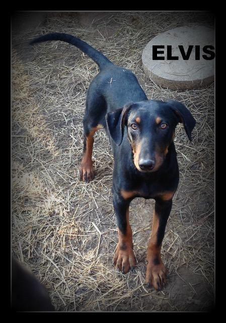 Doberman Pinscher Dog For Adoption In Warwick Ri Adn 459839 On