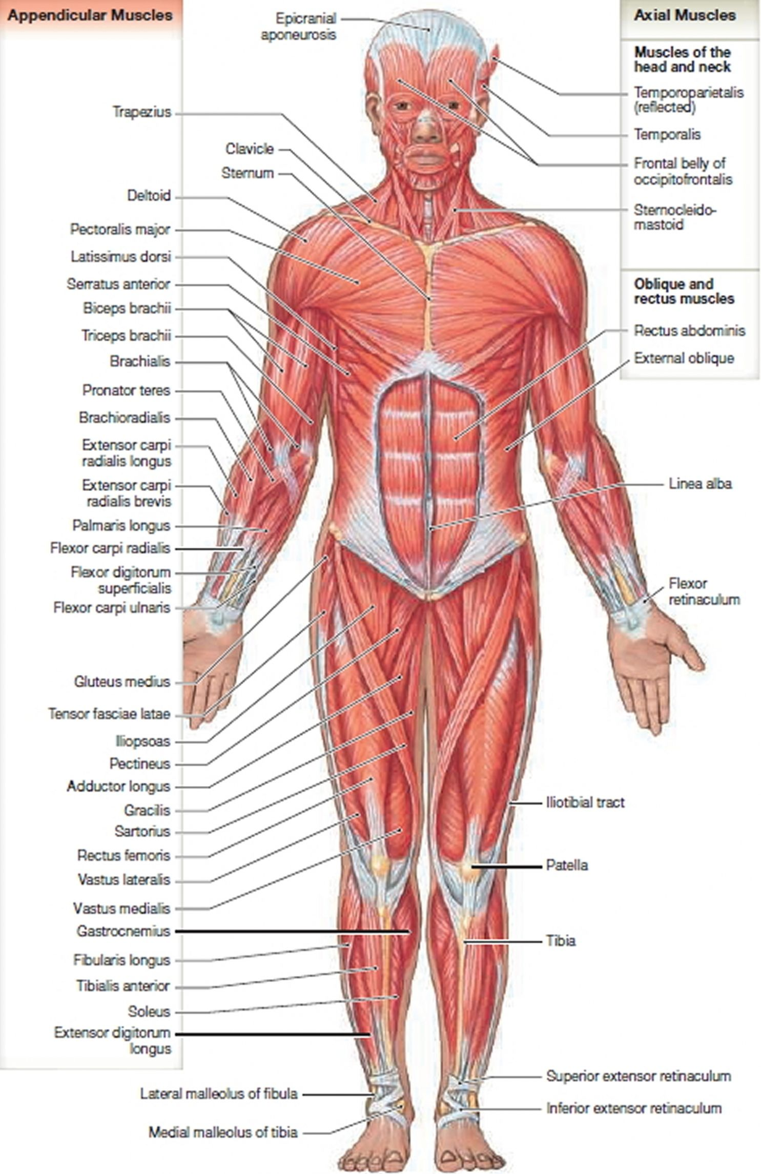 Groin Muscles Diagram Human Anatomy Organs Pinterest Anatomy