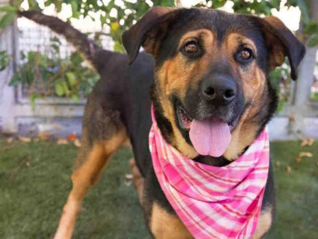 09 19 2016 Super Urgent Adopt Violet A1645097 City Of Los Angeles South La Animal She German Shepherd Adoption Rottweiler Mix Cute Animal Photos
