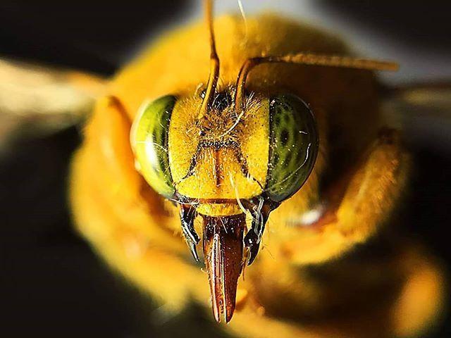 Macro fotografía de una abeja carpintera. Lo raro de esta abeja es ...