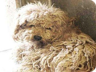 Urgent Scottsdale Az Poodle Miniature Mix Meet Canenelo A