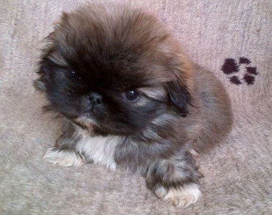 Pug And Pekingese Puginese Another Cute Pug Mix Looks Like A