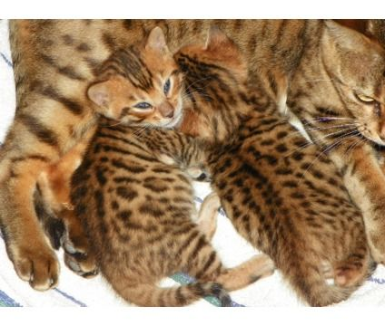 $500 - Kittens is a Bengal Young For Sale in Boston MA
