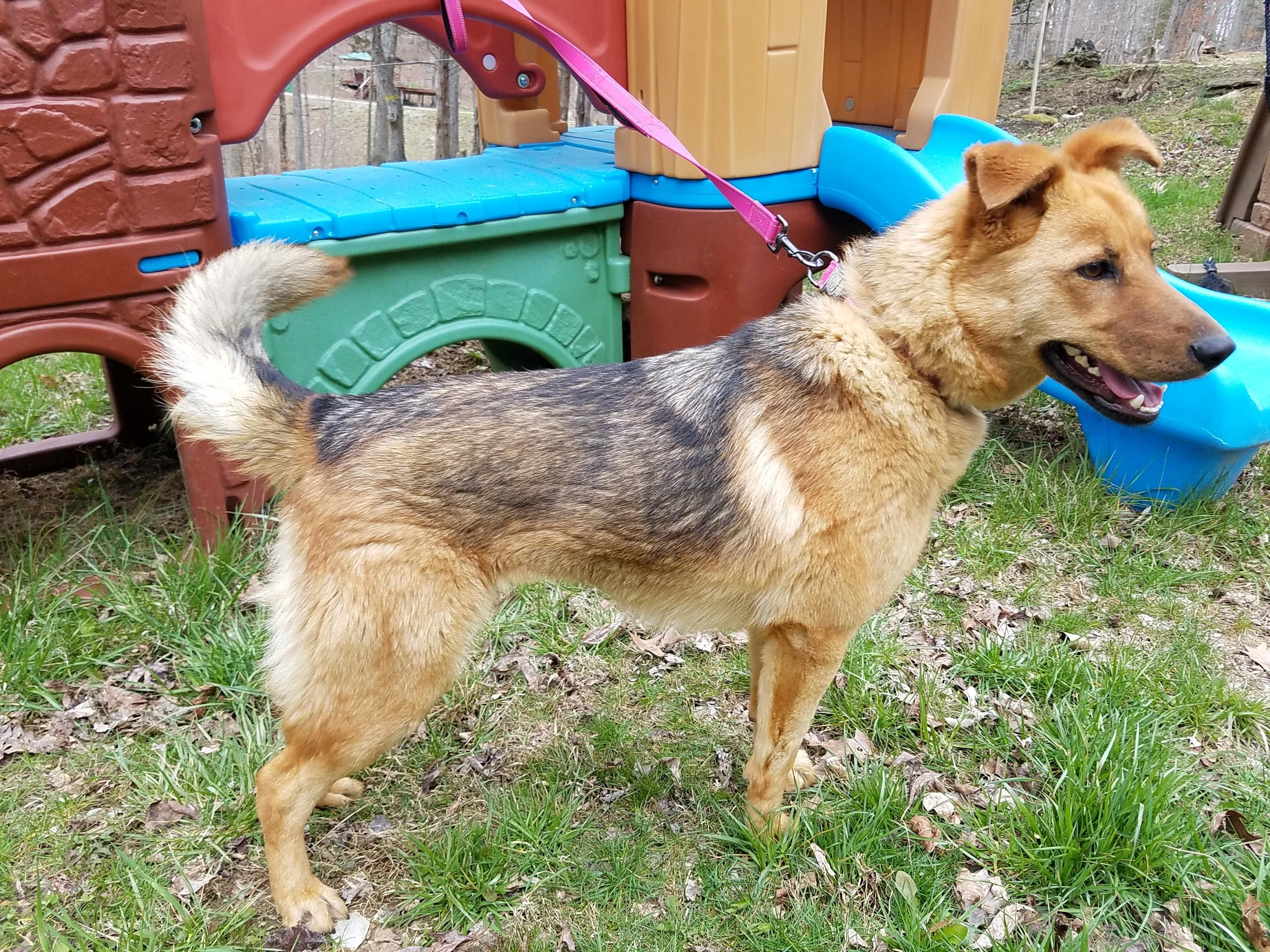 Adopt Scout on German shepherd dogs, Dog search, Dogs