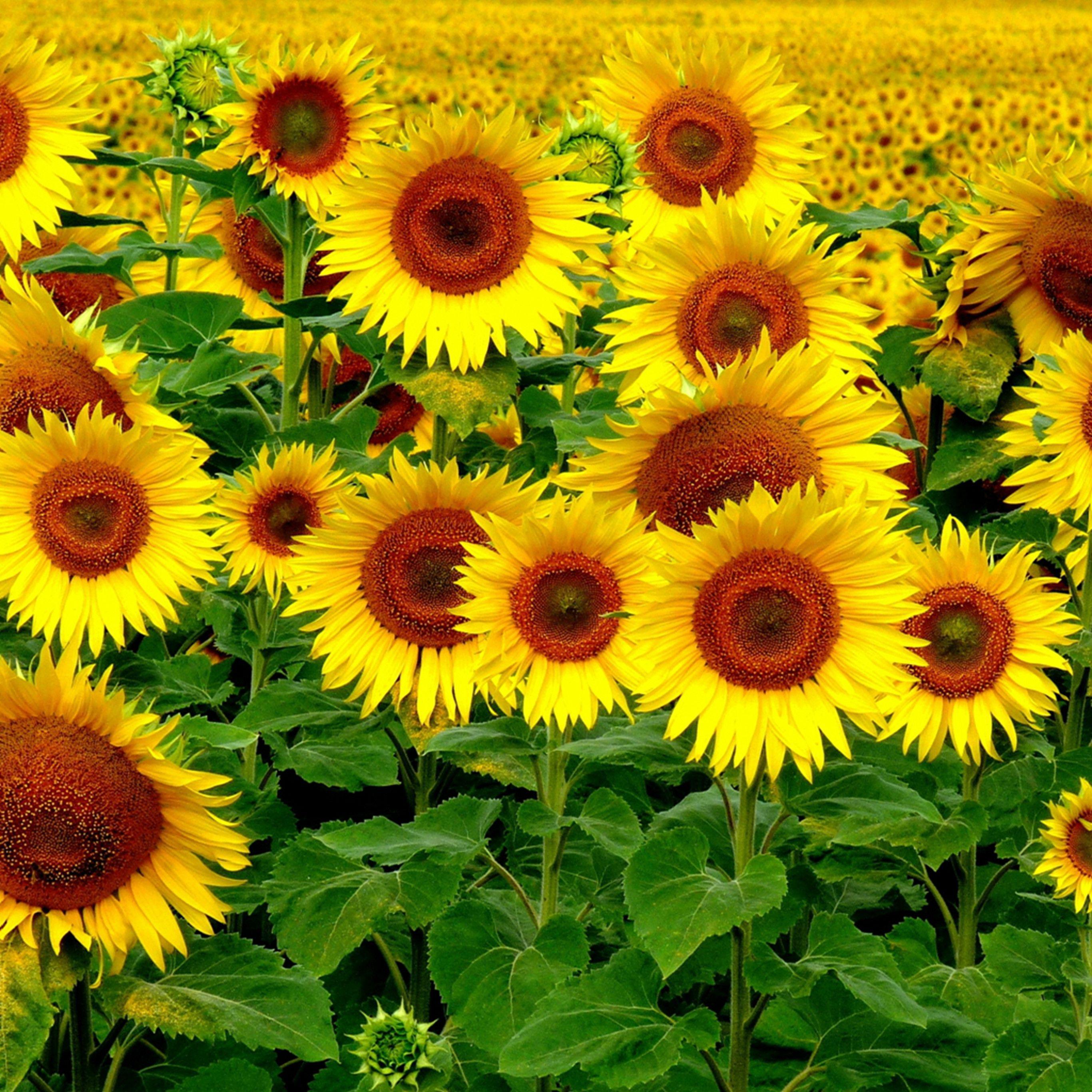 Field Sunflowers Landscape IPad Pro Wallpaper