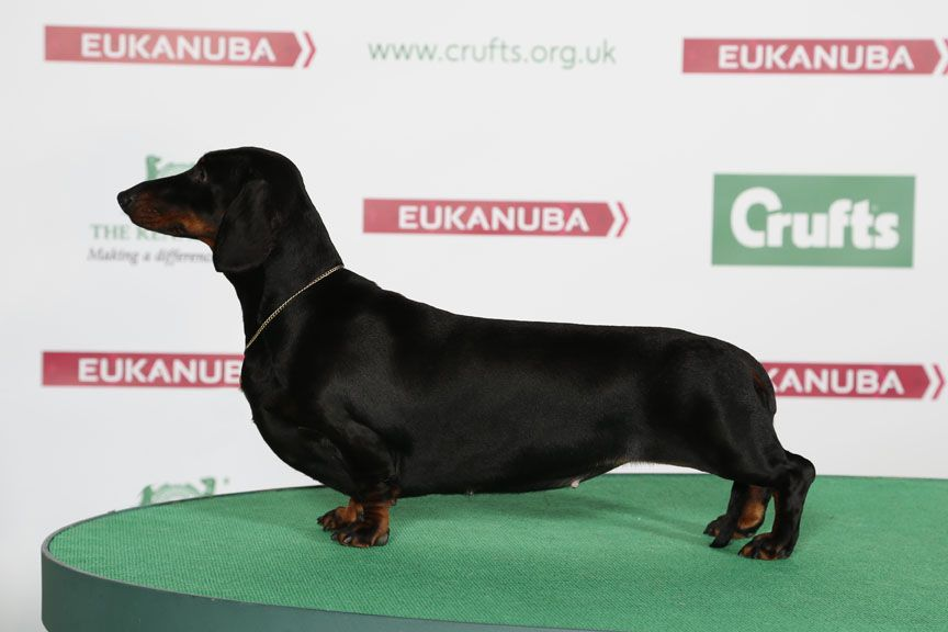 Amlida Evora Dachshund Smooth Haired Dachshund Dogs Breeds