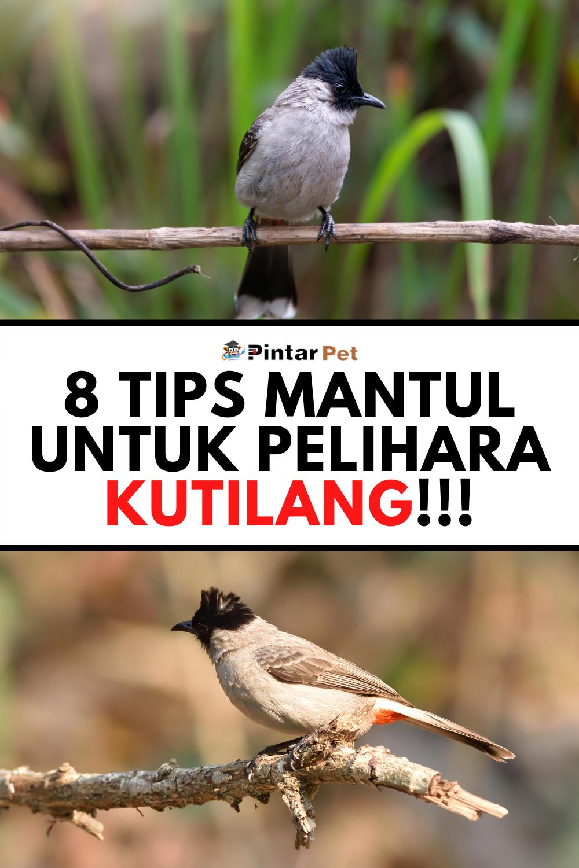 Cara Merawat Burung Kutilang Agar Gacor Dan Ngekek Panjang Burung Pengikut Makanan Burung