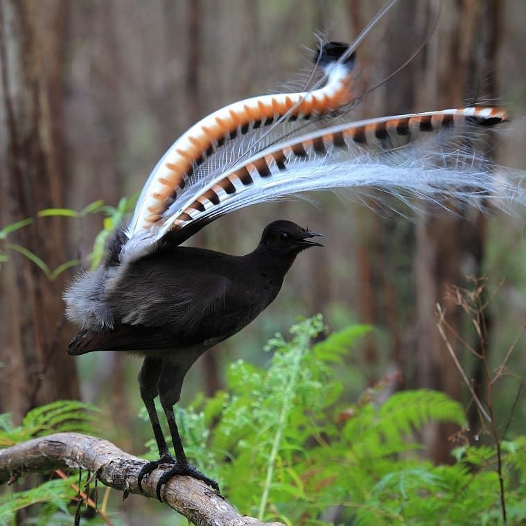 A lyrebird... Magnificent, eh? ° ° #theboldowl #photography #wildlifephotography #wildlife #naturephotography