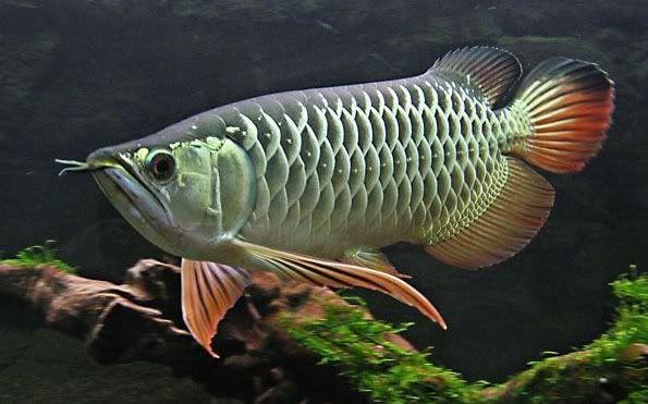 Phan Loại Ca Rồng ปลาสวยงาม ปลาก ด ปลาทอง