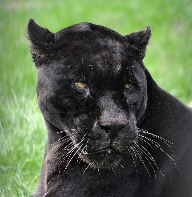 Black Panther Melanistic Jaguar Panthera Onca Niabi Zoo Panther Black Jaguar Black Panther
