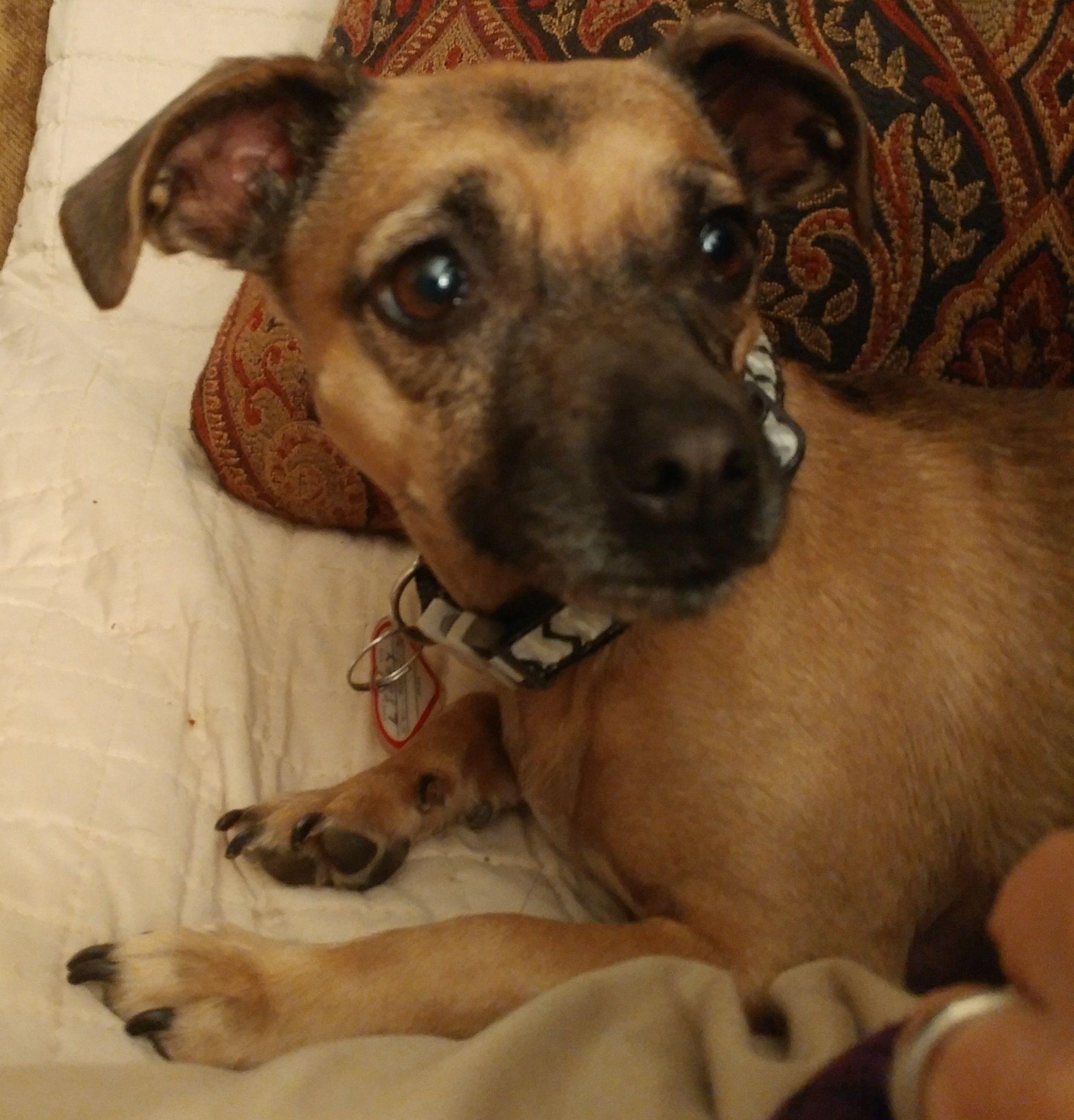 Chiweenie Dog For Adoption In Battle Ground Wa Adn 681806 On