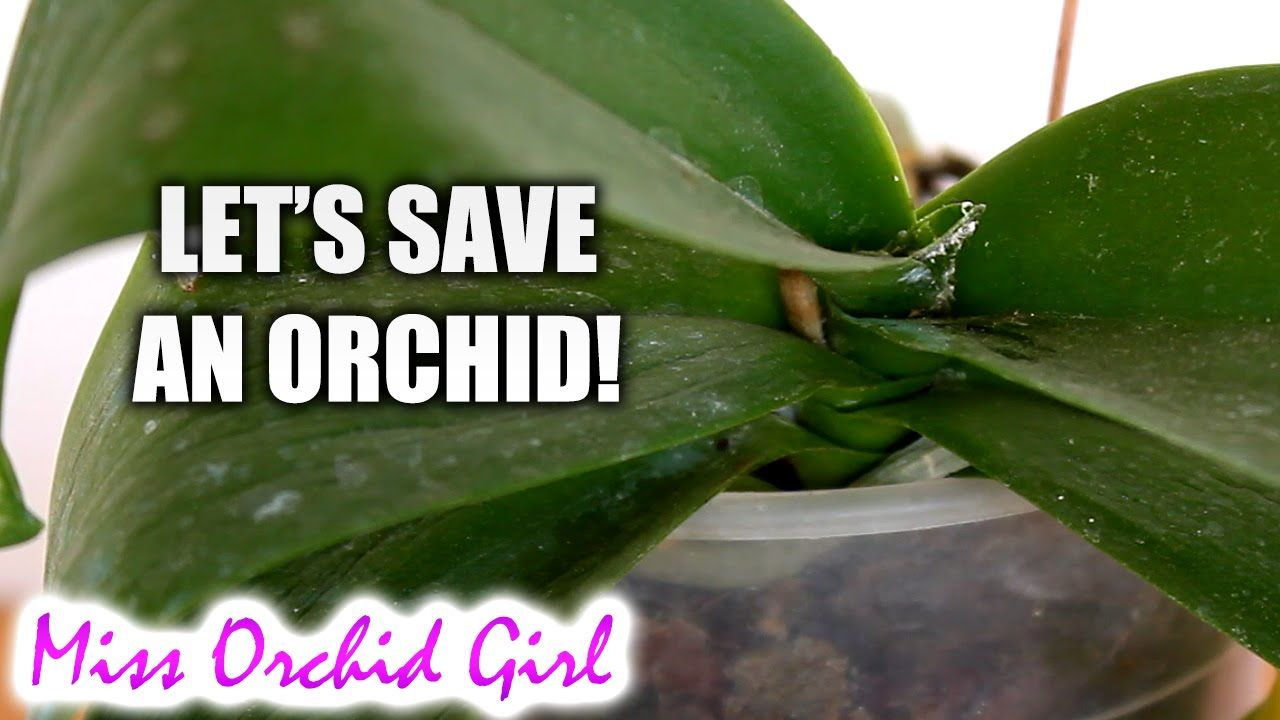 Saving orchid from root rot dehydration and mealy bugs general