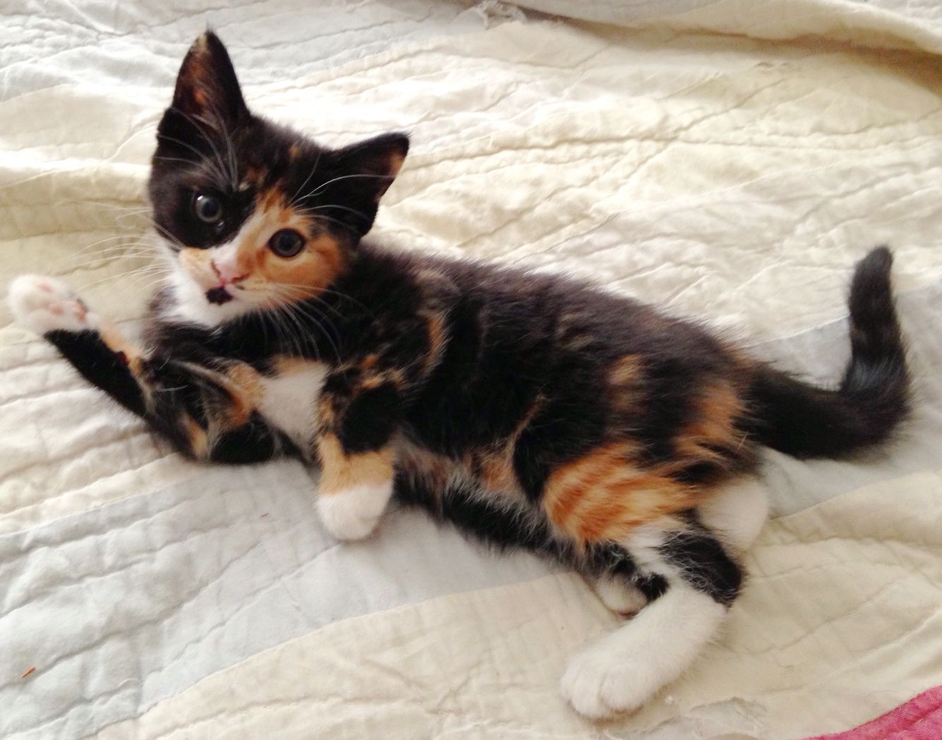 Cute Torbico Kitten Tortoise Shell Tabby And Calico Kittens And Puppies Here Kitty Kitty Kitten